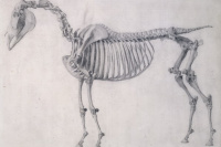 The first anatomical table of the skeleton of the horse