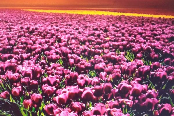 Anastasia Lisova. Tulip Fields