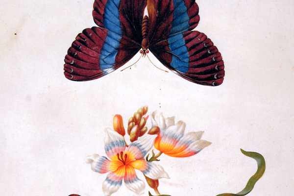 Maria Sibylla Merian. Herbal iris with exotic butterfly