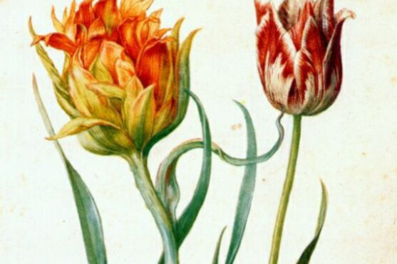 Георг Флегель. Два тюльпана