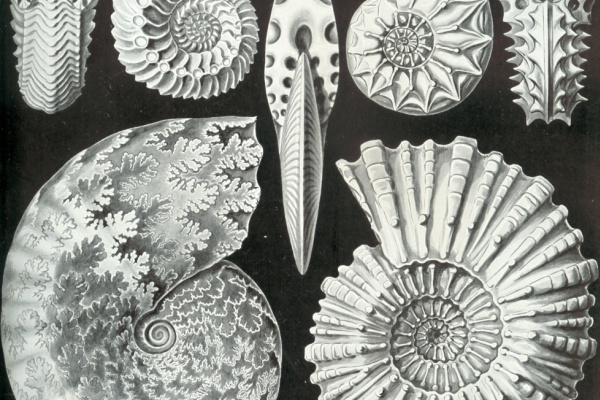 Эрнст Генрих Геккель. Аммонитиды брюхоногие. «Красота форм в природе»