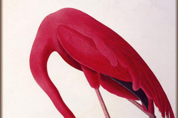 Джон Джеймс Одюбон. Розовый фламинго