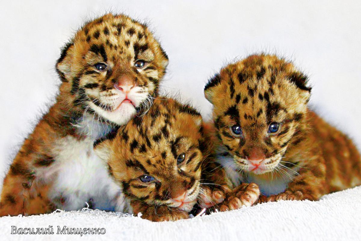 Vasiliy Mishchenko. Cheetah babies