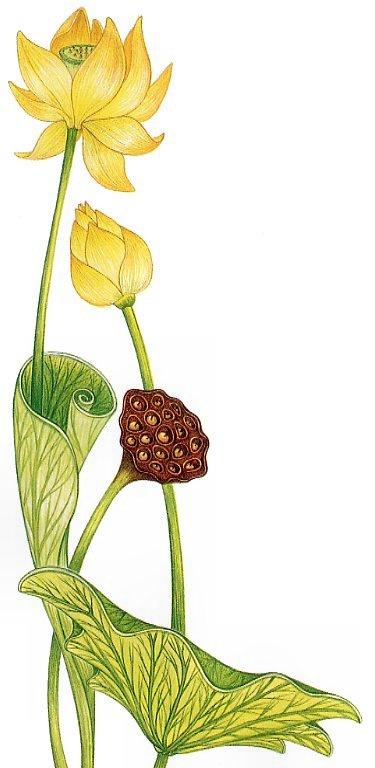 Клаудия Карабаик Сарджент. Желтые цветки