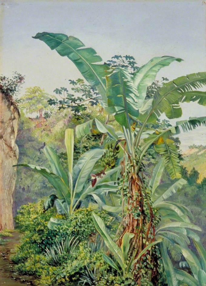 Марианна Норт. Банановые пальмы и табебуйя, Ямайка
