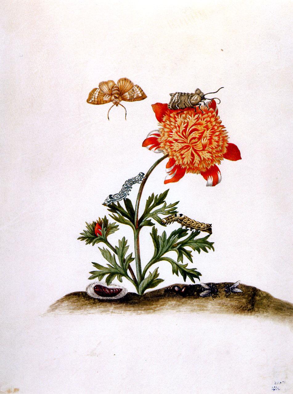 Maria Sibylla Merian. Crowned anemone and brown scoop. Tahiti