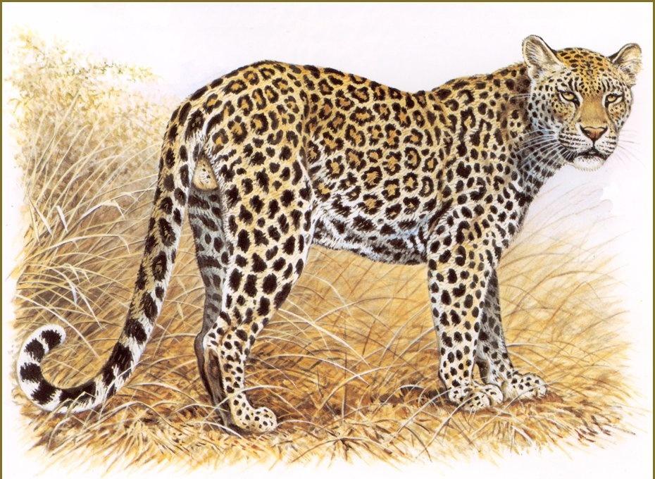 Robert Dallet. Indian leopard