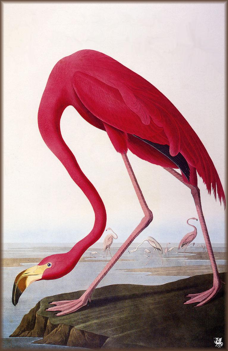 John James Audubon. Pink flamingos