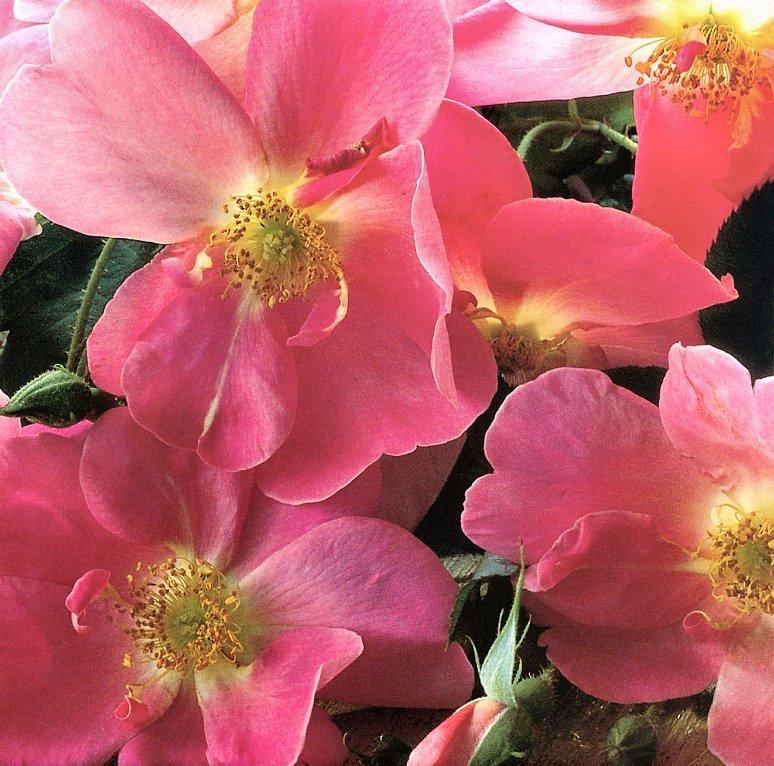 Клей Перри. Розовые цветы