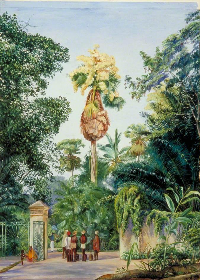 Марианна Норт. Талипотовая пальма (корифа золотоносная) в ботаническом саду Перадении, Цейлон