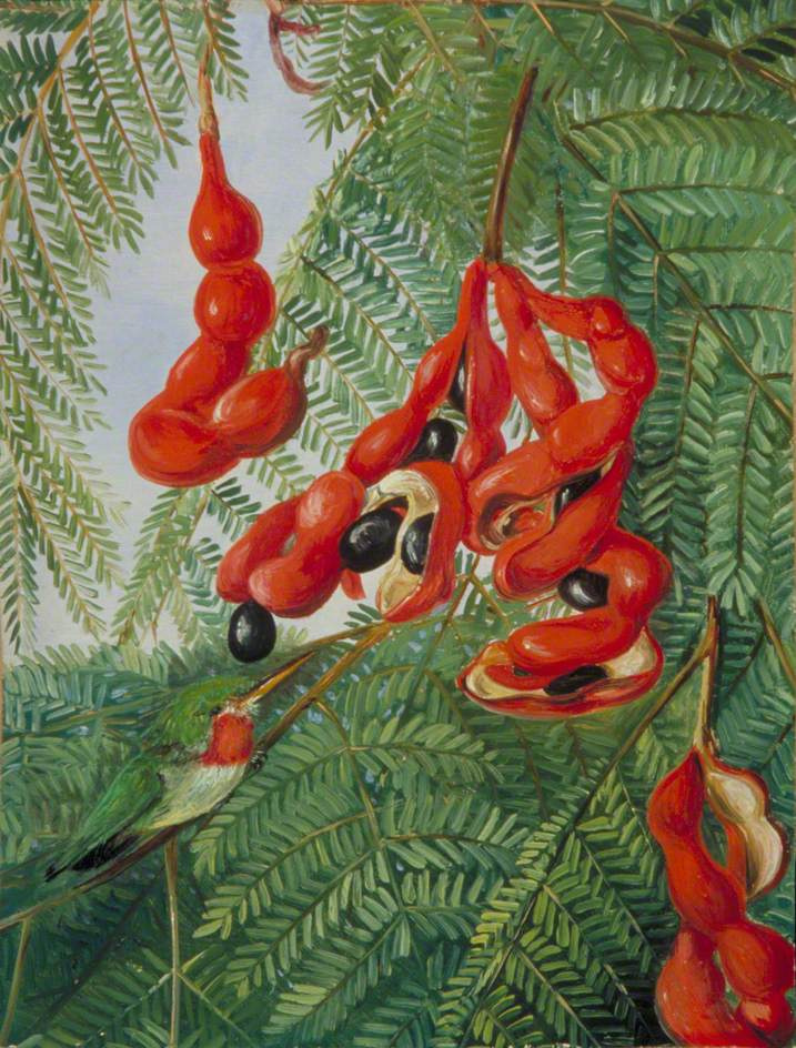 Marianna North. Fruits of wild tamarind and red chest breasts, Jamaica