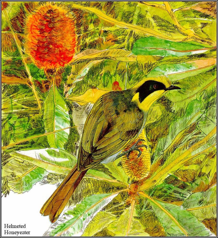 Тони Оливер. Австралийские вымирающие виды 12
