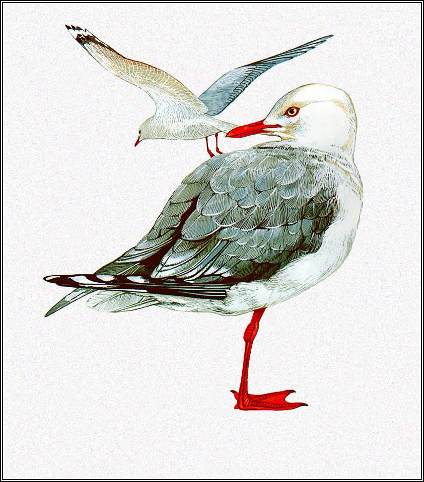 Toni Oliver. Australian Seagull