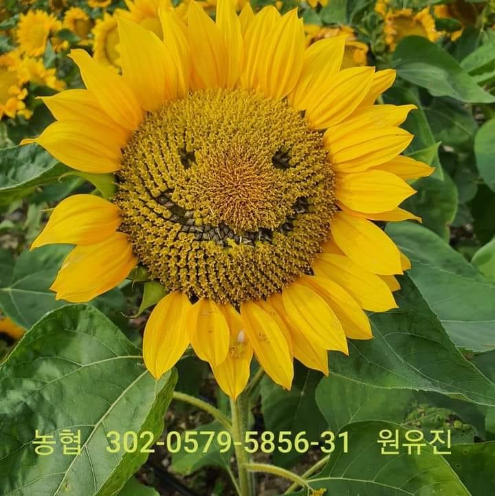 Christian Wellmann. Sunflower farm