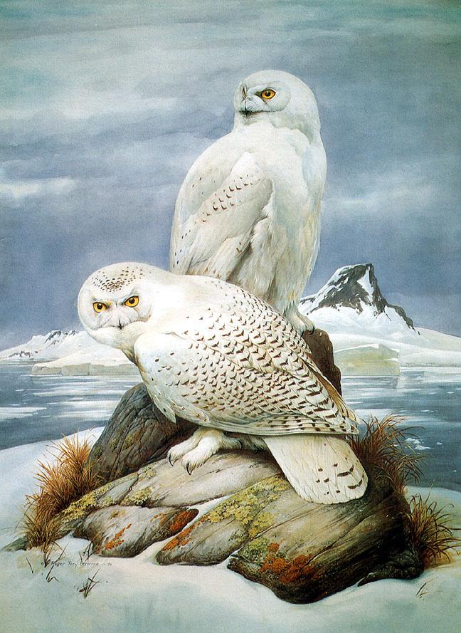 Роджер Тори Петерсон. Белая сова
