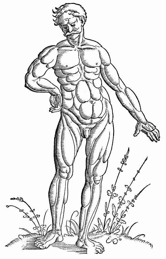 """Ханс Бальдунг. Иллюстрация к """"Анатомии"""" Вальтера Херманна Риффа, Расположение мышц у стоящего мужчины - вид спереди"""
