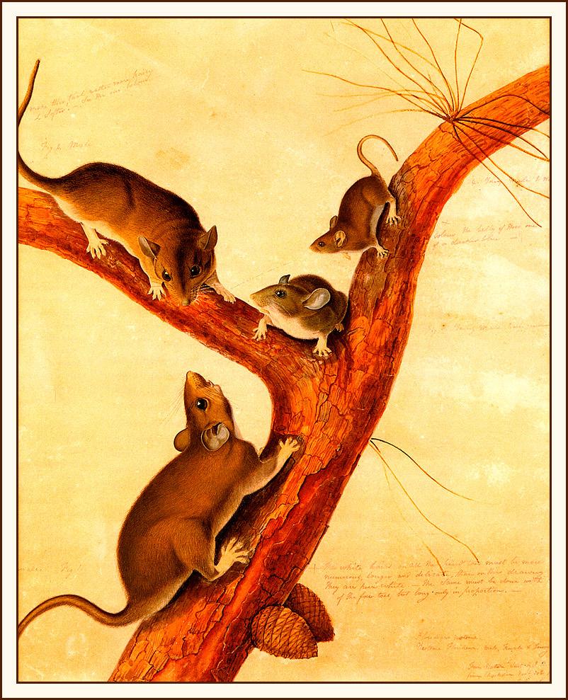 John James Audubon. Rat