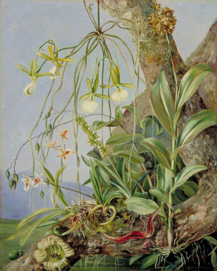 Marianna North. Jamaican orchids on branches of a calabash tree