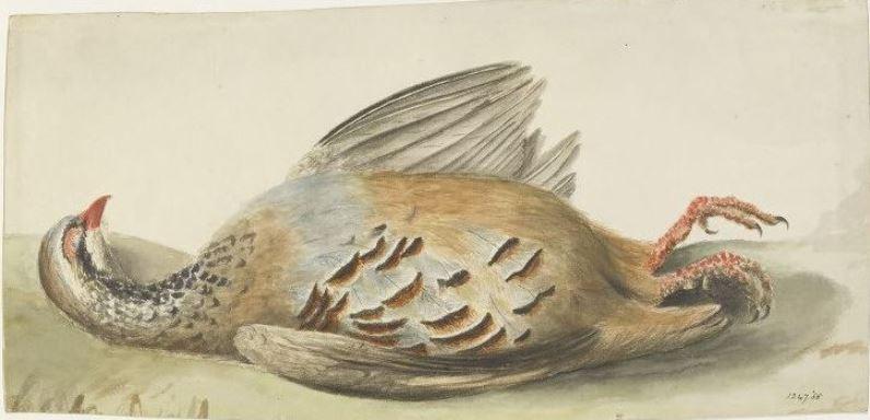 John Constable. Broken bird. Drawing dead French partridge