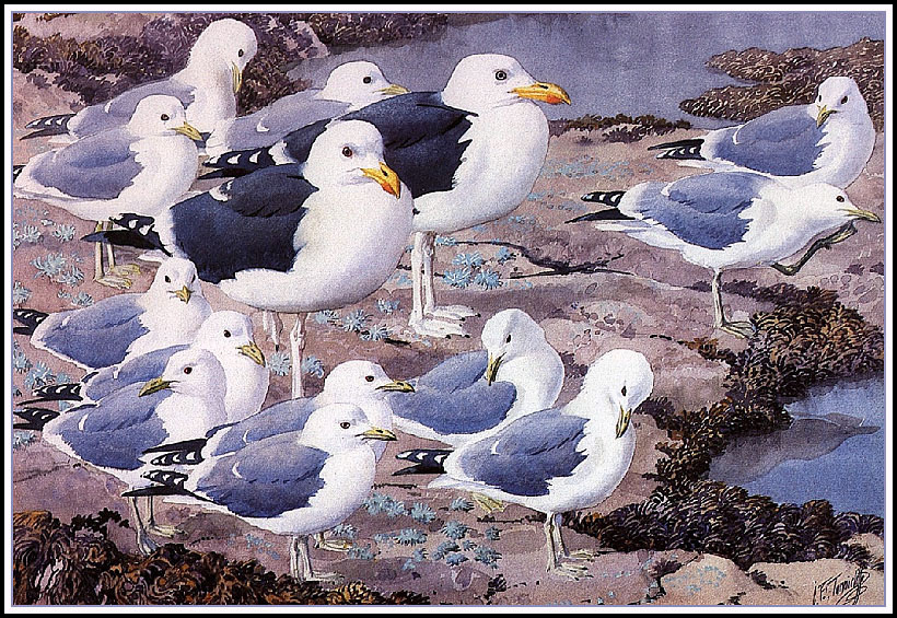 Charles Tannicliffe. Gallery of gulls
