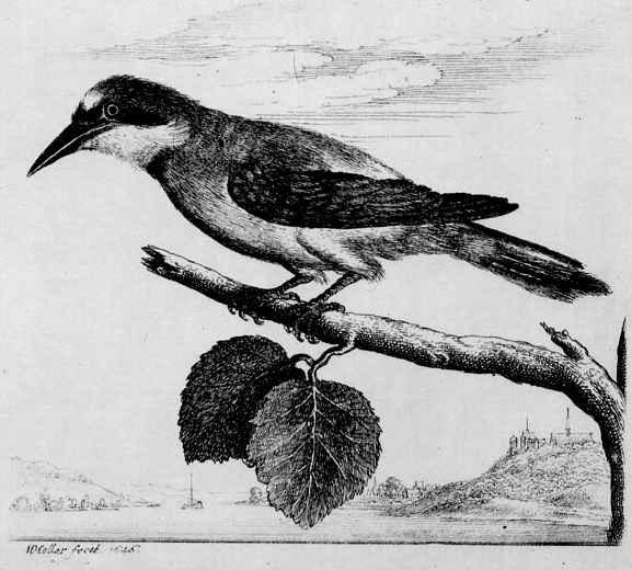 Венцель Холлар. Птица