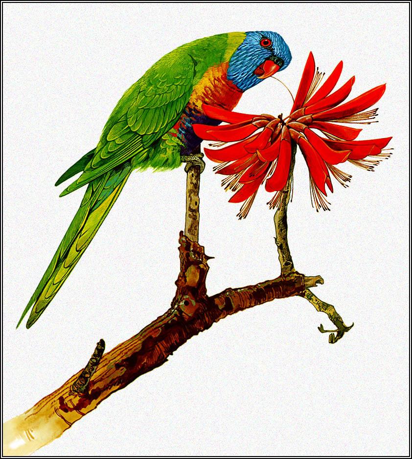 Toni Oliver. Multicolor lorikeet