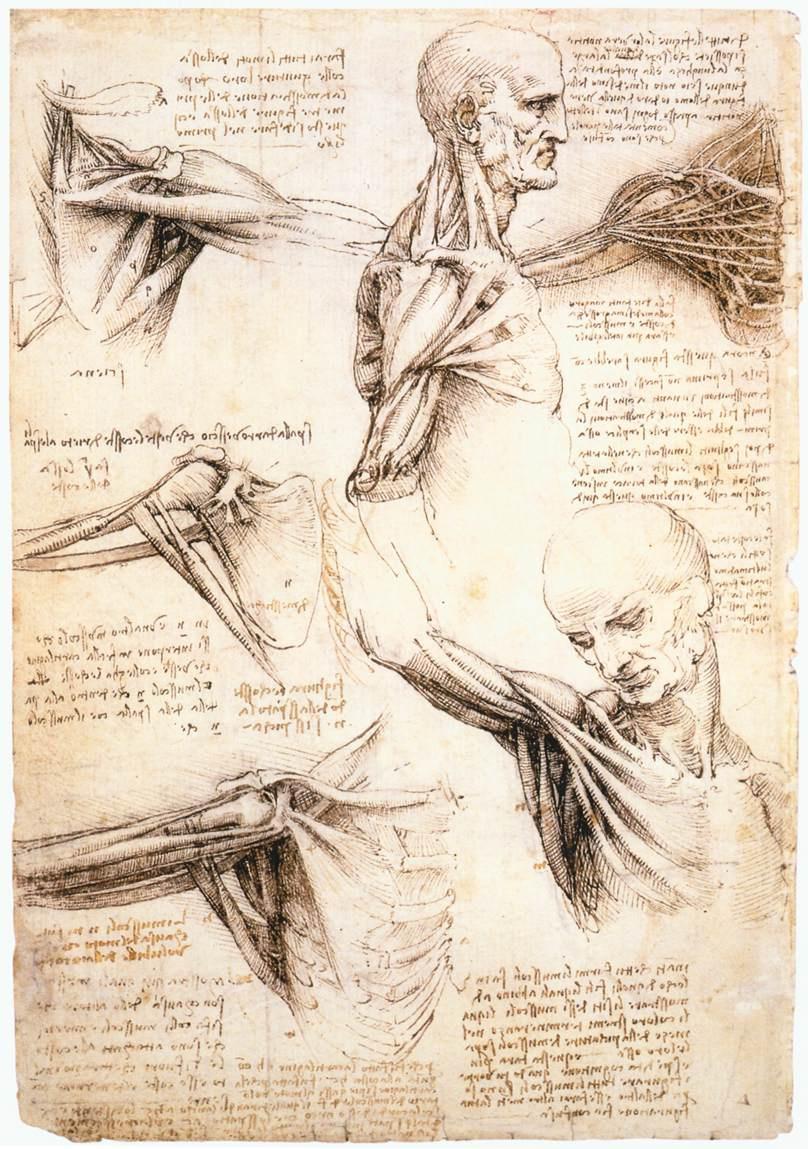 Leonardo da Vinci. Anatomic drawings of the shoulder