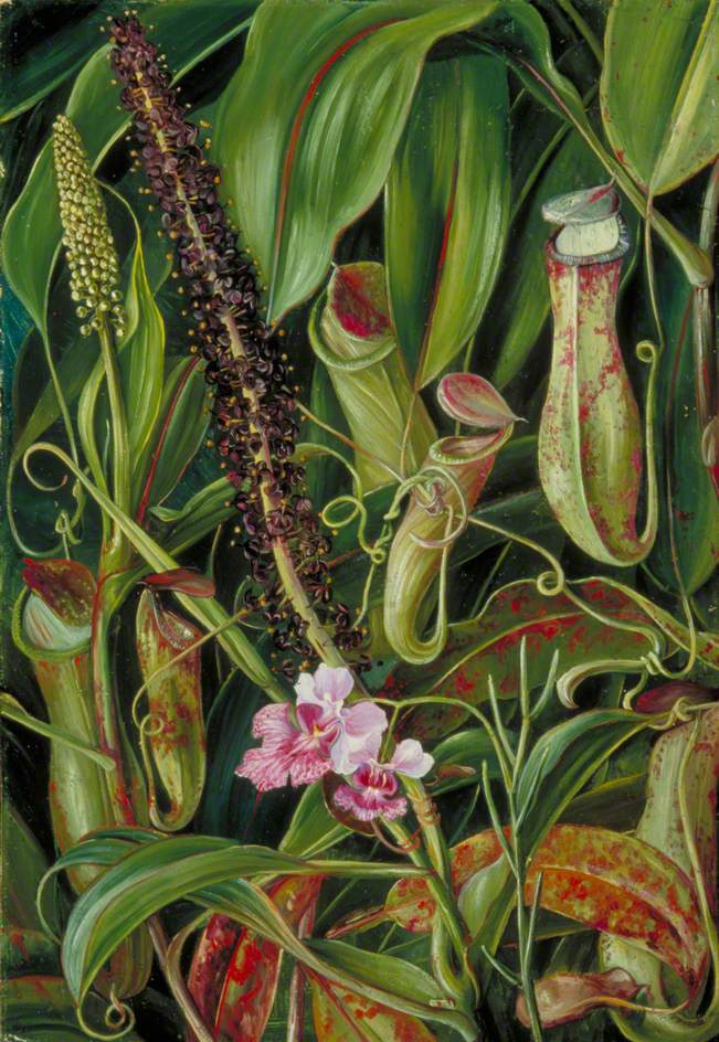 Marianna North. Pitchers and orchids, Borneo