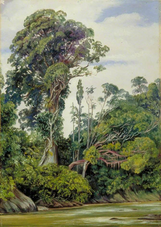 Марианна Норт. Деревья, оплетенные паразитирующими лианами, Саравак, Борнео