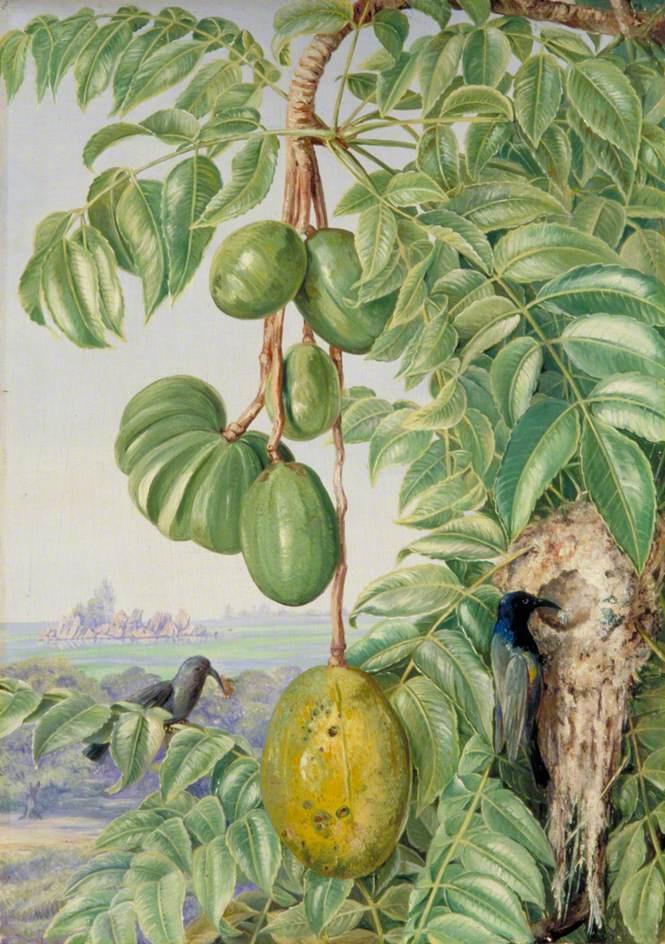 Marianna North. Citer fruits and nest of sugar honey suckers, Seychelles