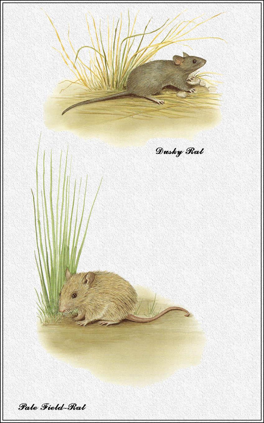 Marion Westmacott. Australian mammals 68