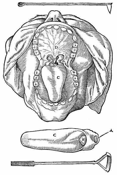 Ханс Бальдунг. Вид головы снизу с ротовой полостью
