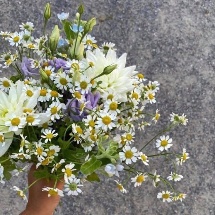 David Alexander Vincent. White Wild Chrysanthemum