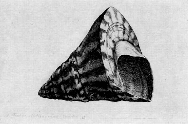 Венцель Холлар. Коническая раковина