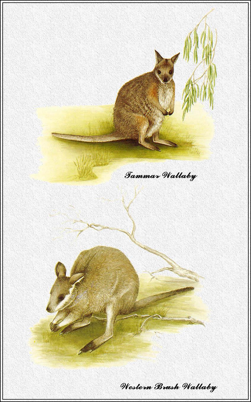 Marion Westmacott. Australian mammals 42