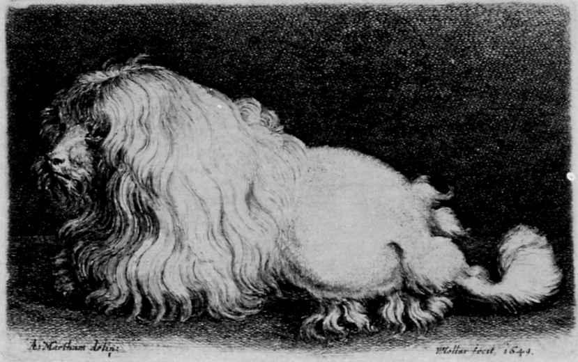 Венцель Холлар. Болонская собака