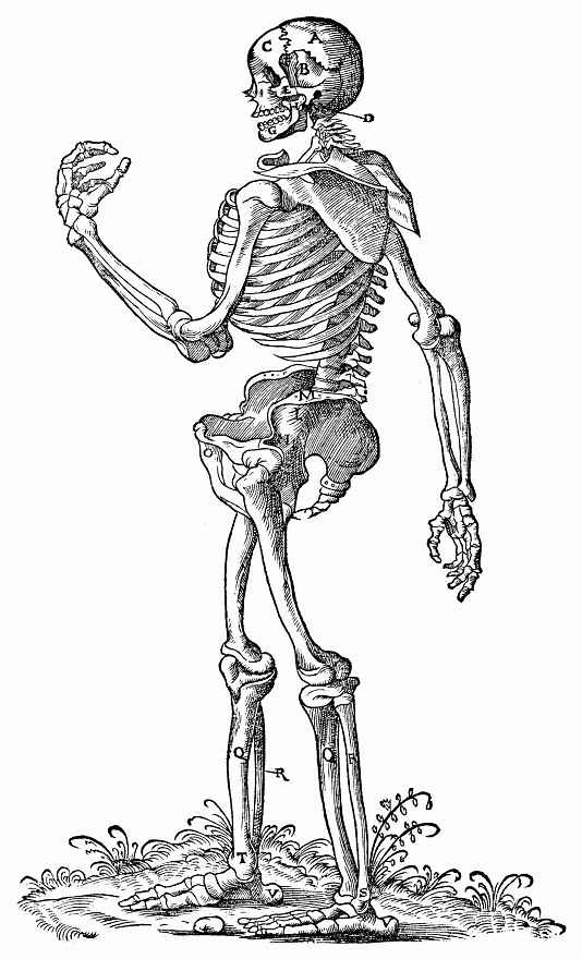 Ханс Бальдунг. Стоящий скелет, повернутый влево