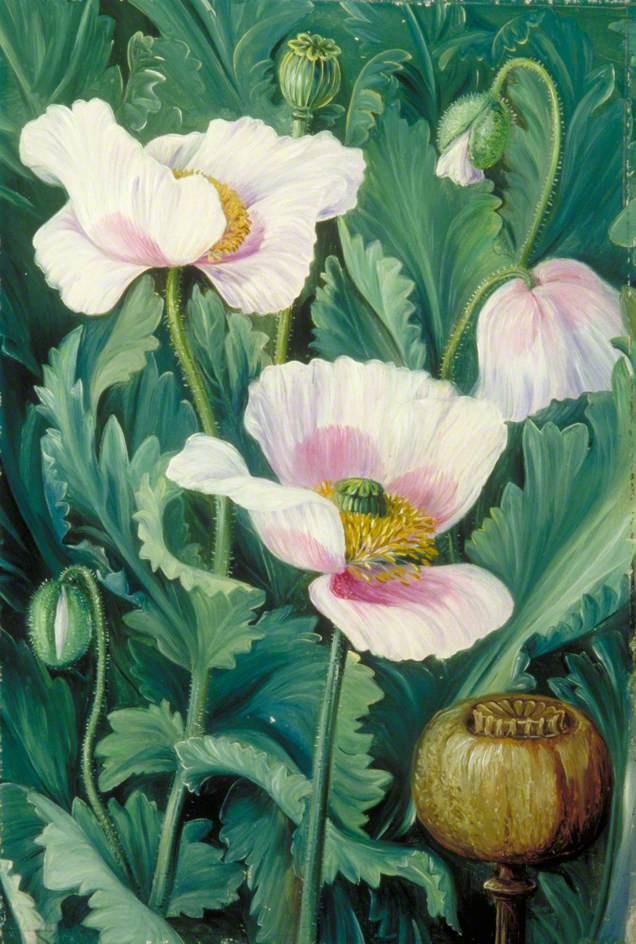 Marianna North. Opium Poppy Flowers