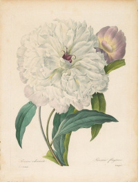 "White Peony ""Selection of the most beautiful flowers"""