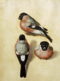 Three bullfinch