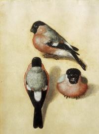 Three bullfinch