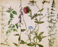 Альбрехт Дюрер. Восемь эскизов полевых цветов