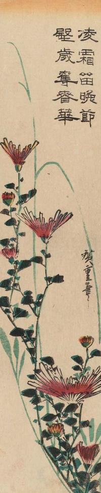 Дикие хризантемы