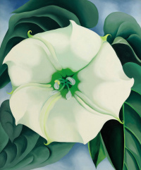 Jimson weed (White flower No. 1)