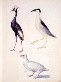 Crowned crane, night Heron and white partridge