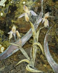 Irises Ruchey