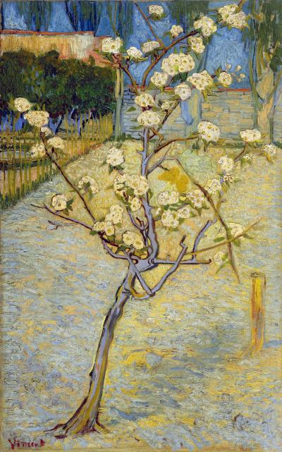Цветущее дерево груши