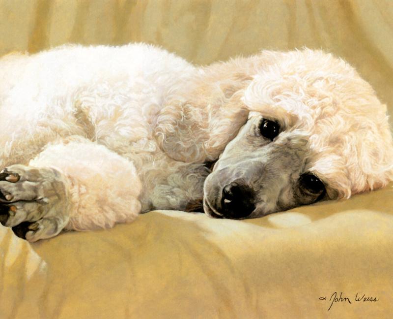 правильно пользоваться сонник щенок белый пудель посещения магазина