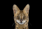 Serval#1