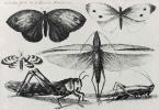 Венцель Холлар. Бабочки и другие насекомые